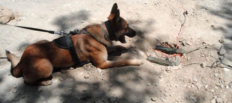 Military Working Dog Chuck focuses on the landmine he found which would have killed multiple members of his Green Beret Team, Afghanistan 2010. (Photo provided by U.S. Army Sergeant Noah Carpenter)